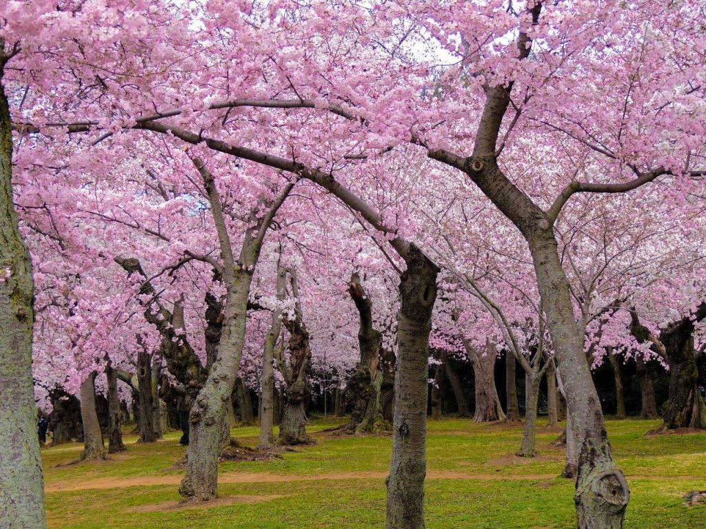 7 Places To See Cherry Blossoms Bloom This Spring Across North America The Points Guy Cherry Blossom Brooklyn Botanical Garden Beautiful Nature