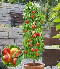 Saulenobstbaume Google Suche Dwarf Fruit Trees Plants Fruit Trees