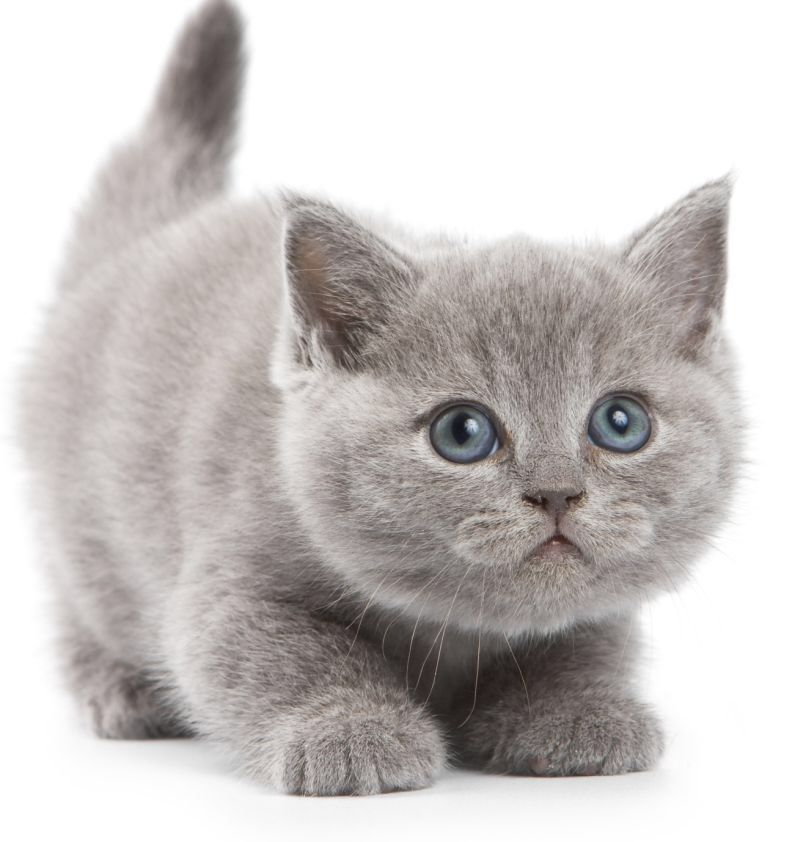 Image from http://mobilite.mobi/wp-content/uploads/grey-kittens-wallpapers-3.jpg.