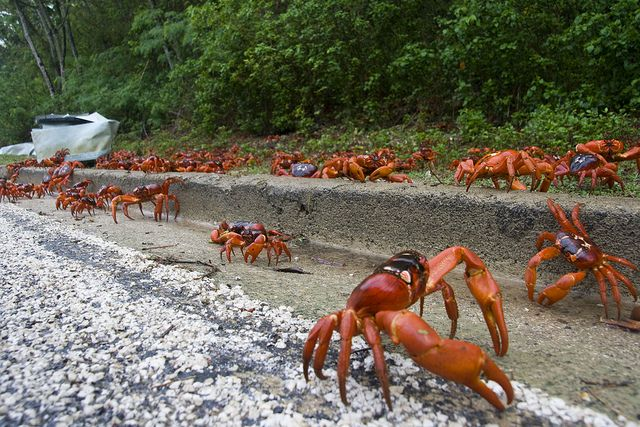 red crabs at risk during annual migration the animalias kingdoms queendoms and nature pinterest wildlife