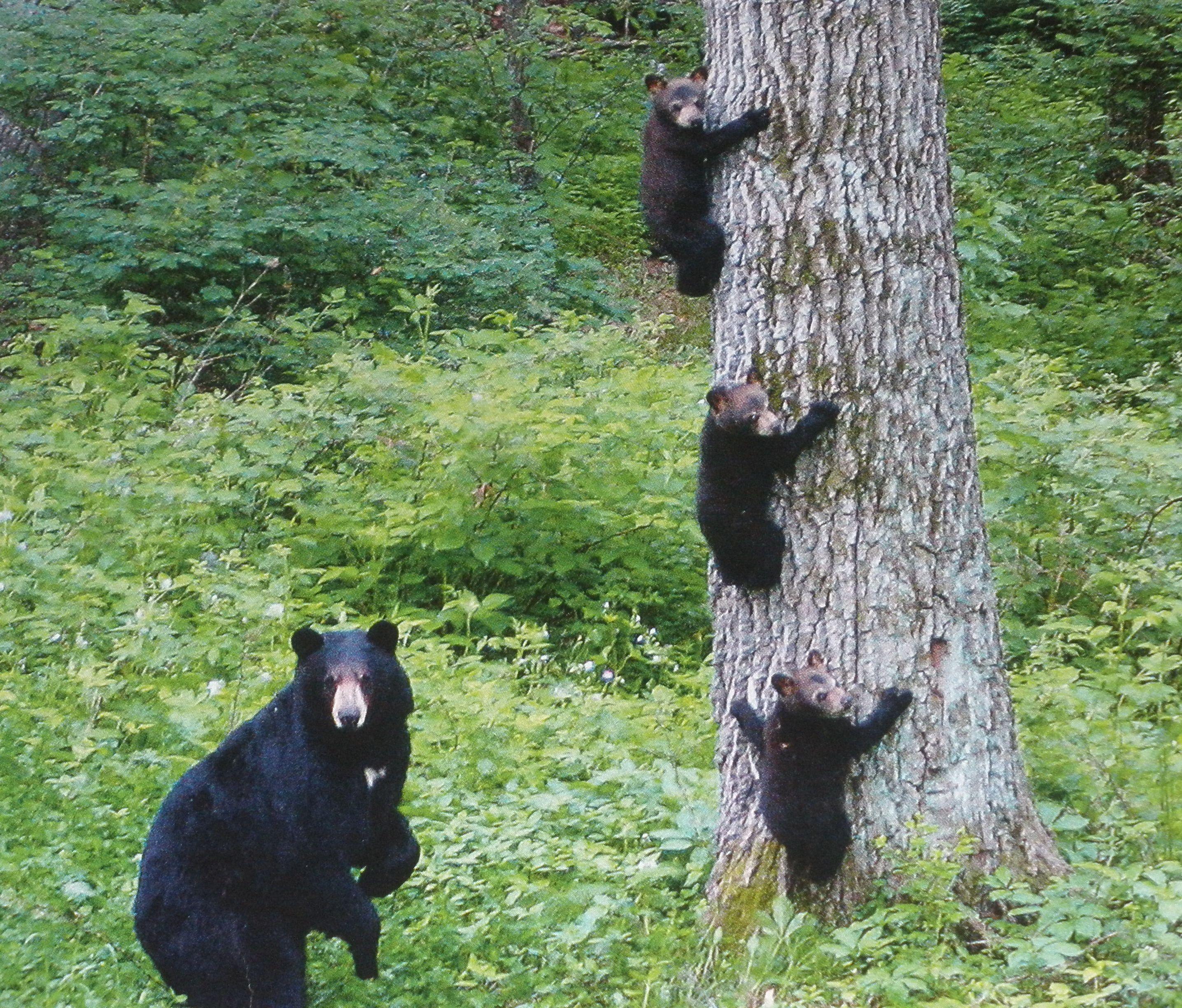 Pin By Sandy Hemsher On Travel Black Bear Bear Dog Bear Cubs