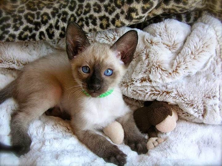 balinese kittens Google Search (With images) Siamese