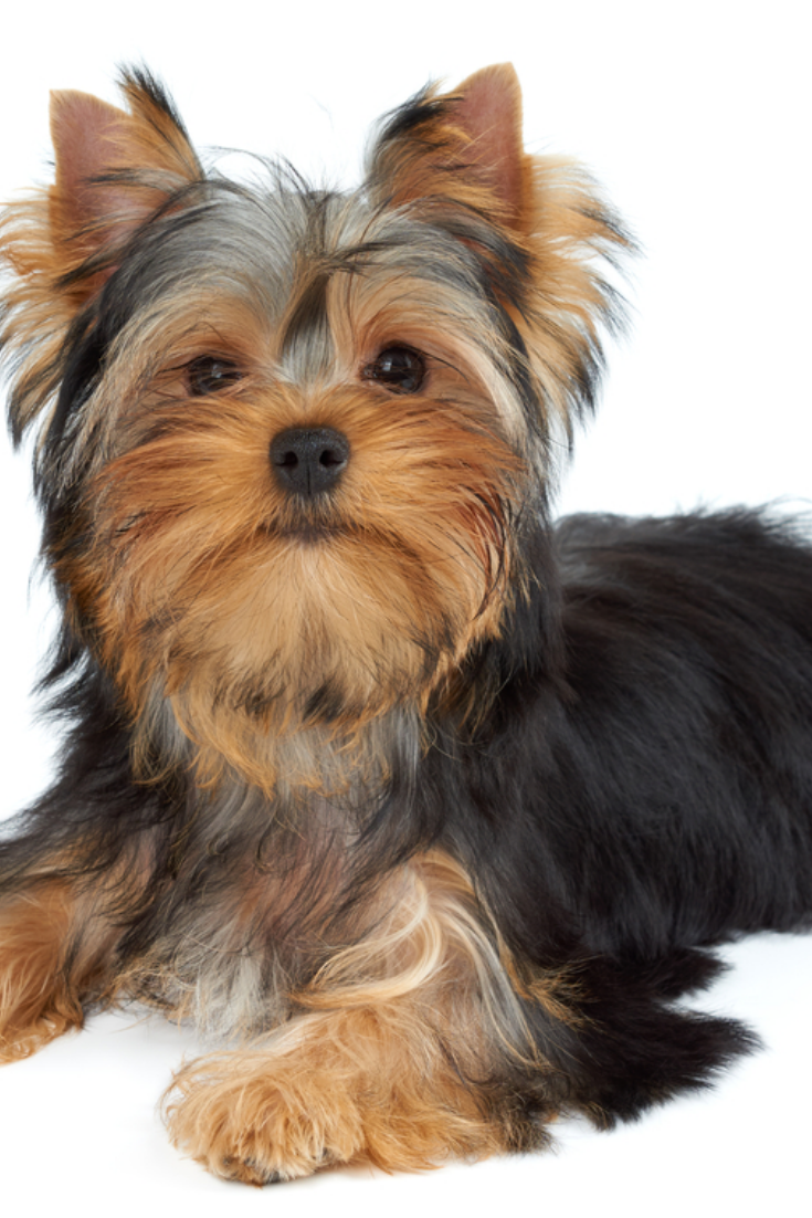 Cute Puppy Lies On White Background Yorkshire Terrier Yorkshireterrier In 2020 Yorkshire Terrier Terrier Yorkie Lovers