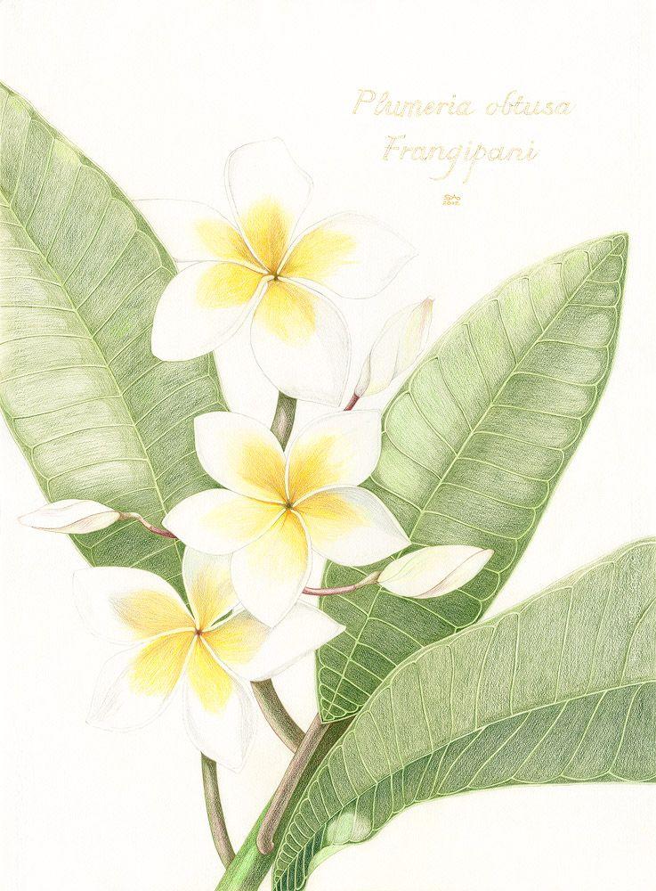 Frangipani Watercolor Illustration Contemporary Botanical Art Botanical Prints