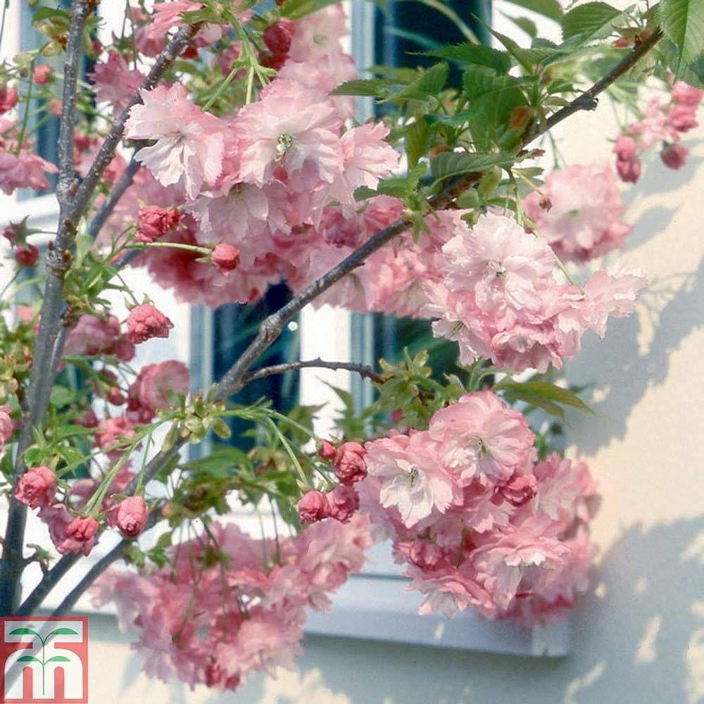 Prunus Little Pink Perfection Thompson Morgan Flowering Cherry Tree Ornamental Cherry Japanese Flowering Cherry