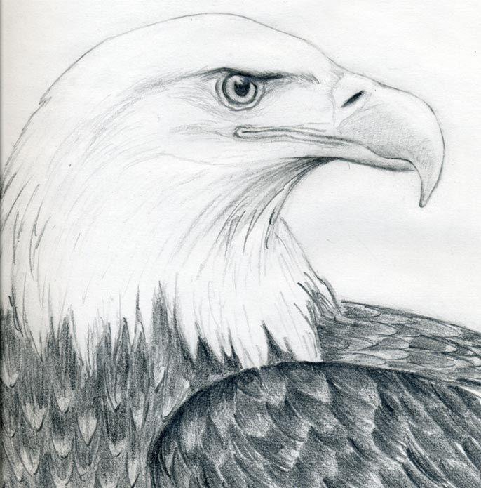 bird sketch | How To Draw A Bald Eagle ~ Jus 4 kidz | cats ...