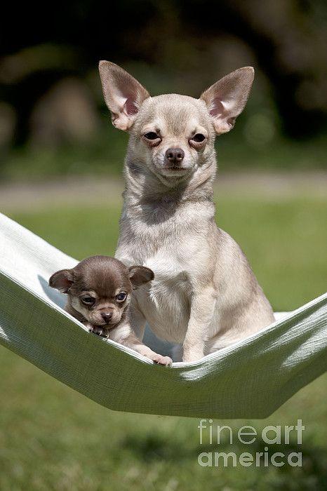 Chihuahuas In Hammock by John Daniels Cute chihuahua
