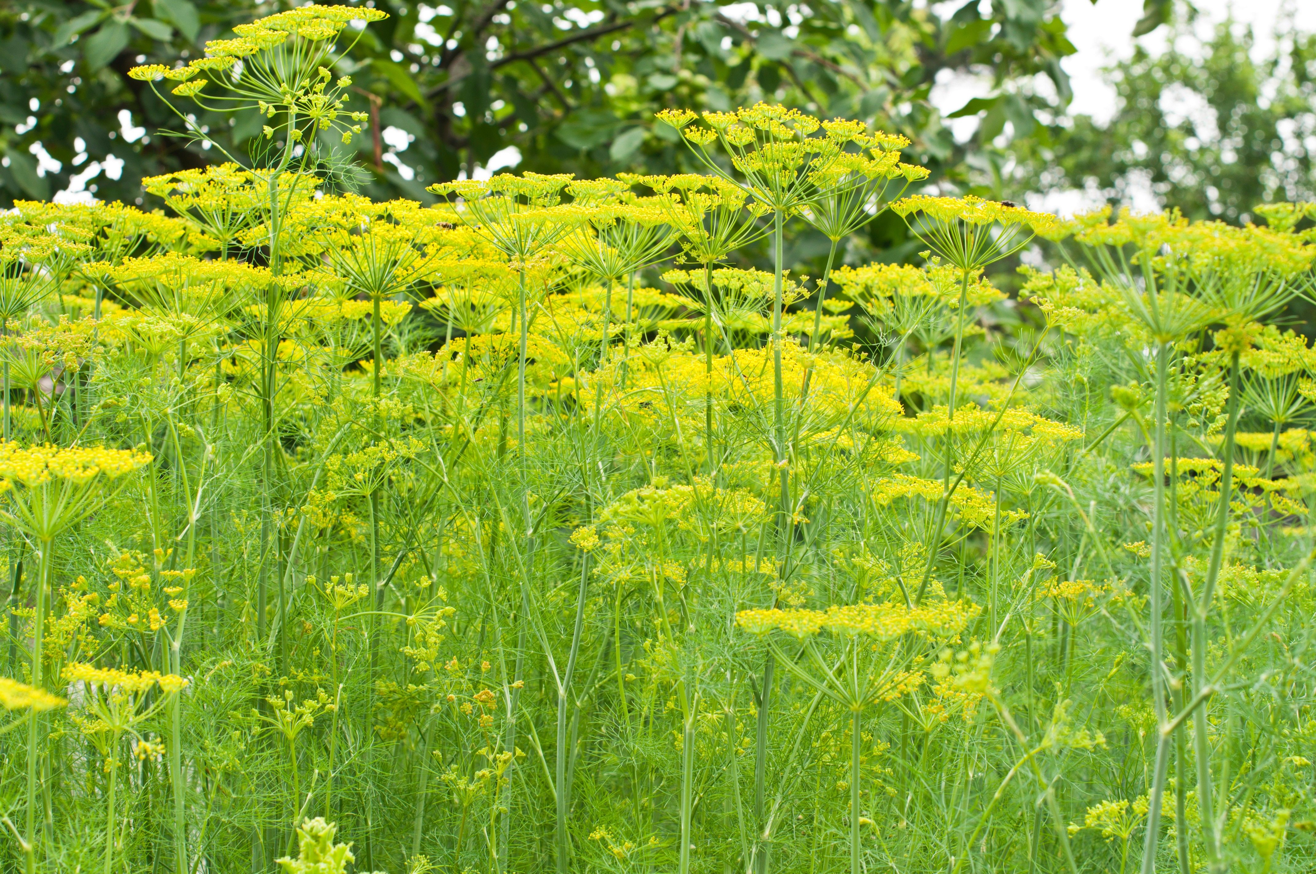 Image Gallery Dill Plant