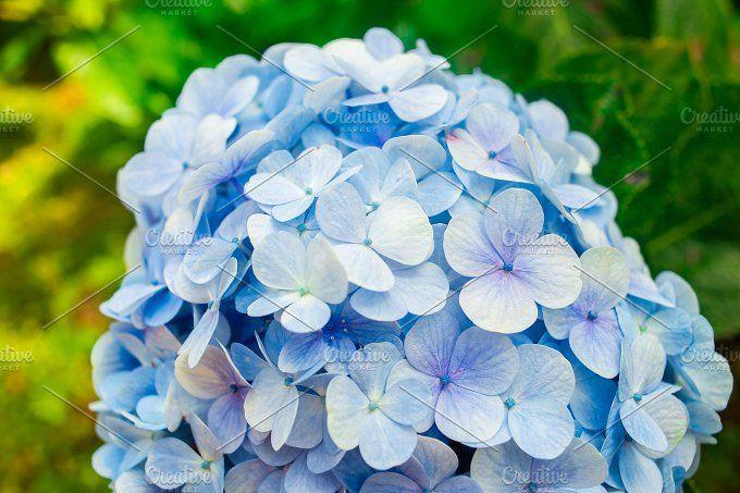 Hydrangea Flowers In Dalat Flower Park Vietnam Hydrangea Flower Hydrangea Flower Garden