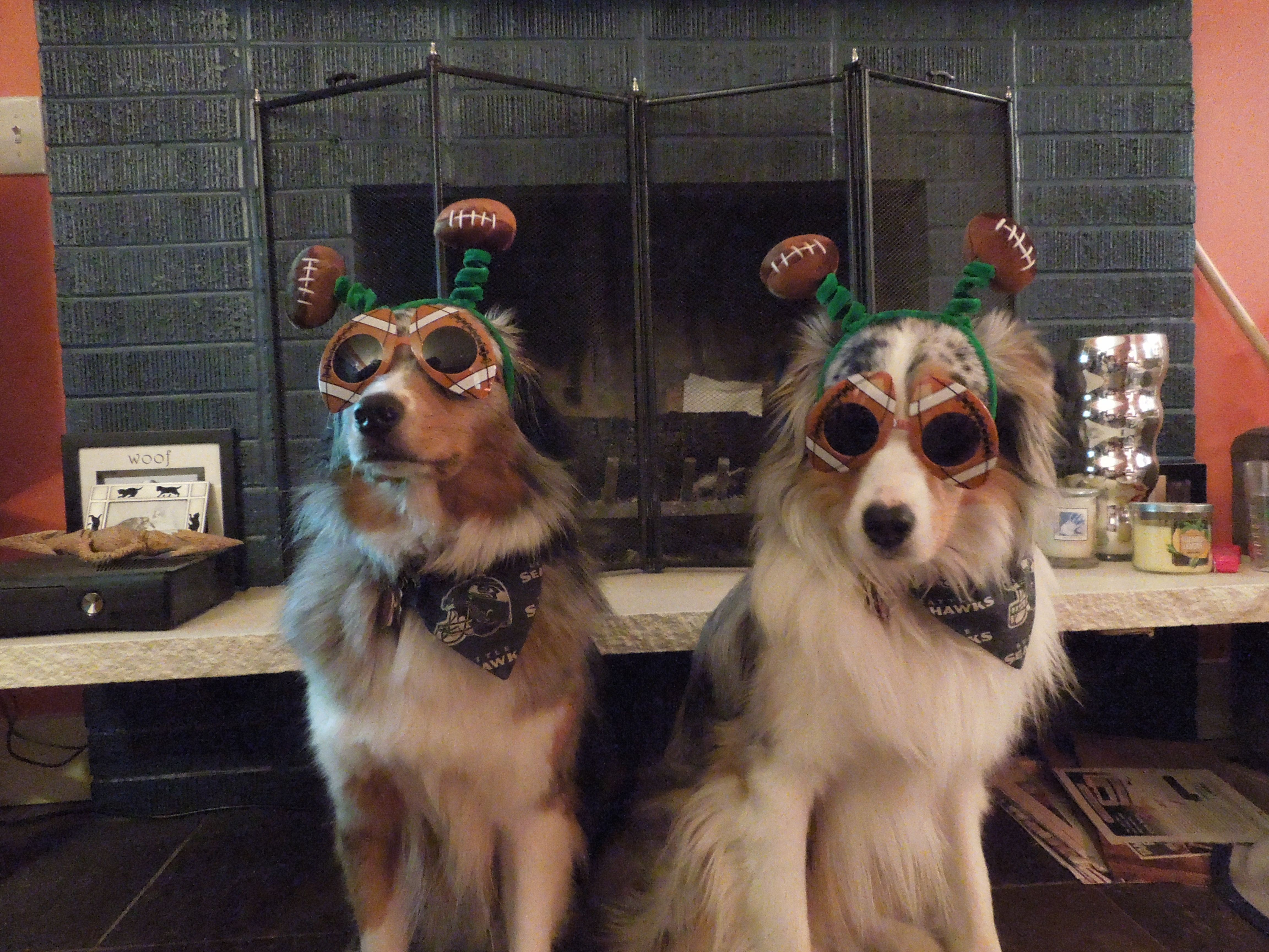 Tully Mars & Jimmy cheering on the Seahawks during the Super Bowl! #Seahawks #12thDogs #Dogs