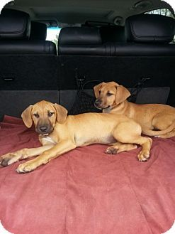 Pet Not Found Black Mouth Cur Puppy Adoption Crazy Dog Lady