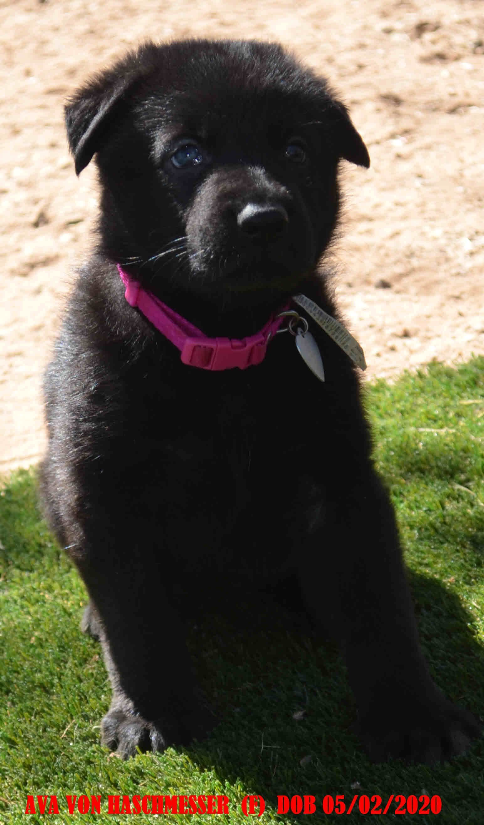puppies AVA VON HASCHMESSER AKC German Shepherd doggie