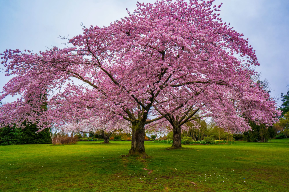 You Can Buy A Cherry Blossom Tree For Just 39 At Home Depot Fast Growing Shade Trees Flowering Cherry Tree Flowering Trees