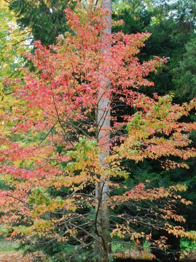 Bluebell Nursery Trees Shrubs Nyssa Sylvatica