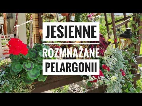 Rozmnazanie Pelargonii Jesienia Kwiaty W Ogrodzie Ulubione Kwiaty Doniczkowe I Na Taras Kasia In Youtube Novelty Sign