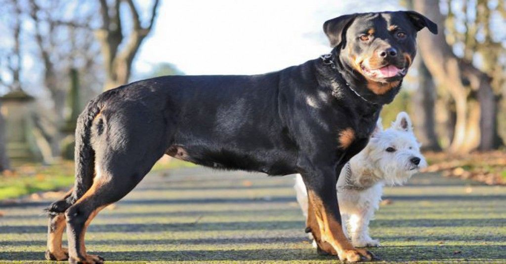 This Little Terrier Got That Rottweiler Pregnant And You Re Gonna
