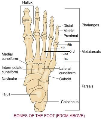 Foot Bones Diagram | Foot Bones View From Above For My 3 5yo Who Continues To Be