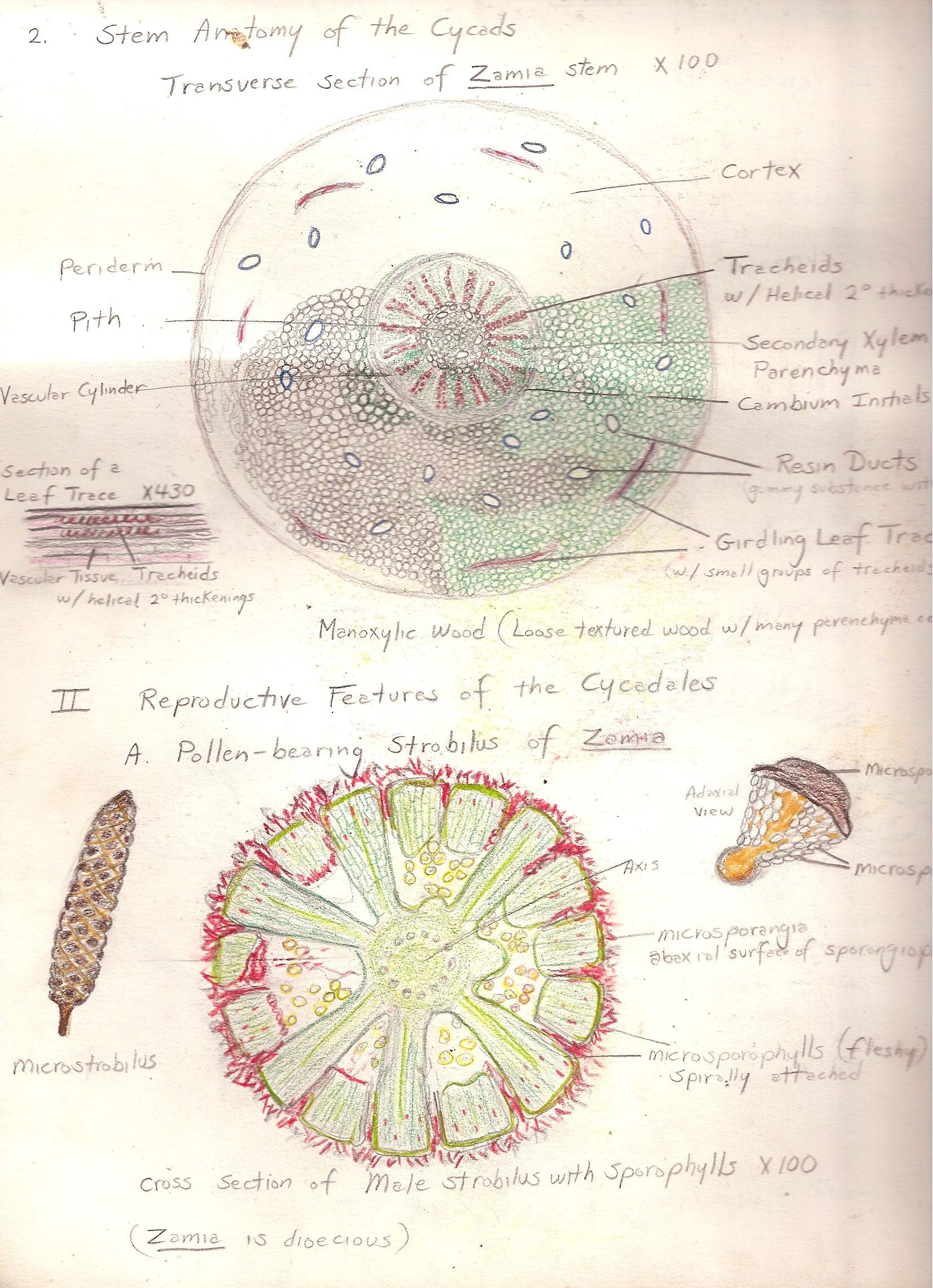 Stem anatomy of cycads. Transverse section of Zamia. Sketch by Gwen ...