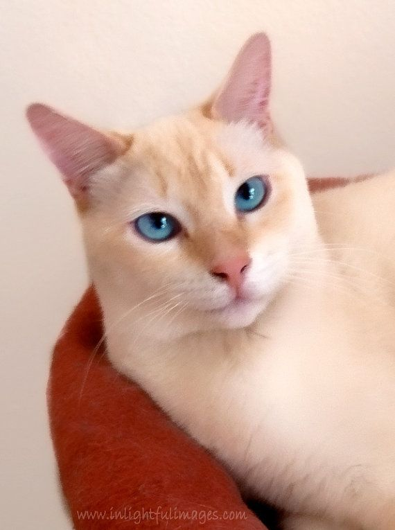 White Flame Point Siamese Cat Blue Eyes I Had One Of These He