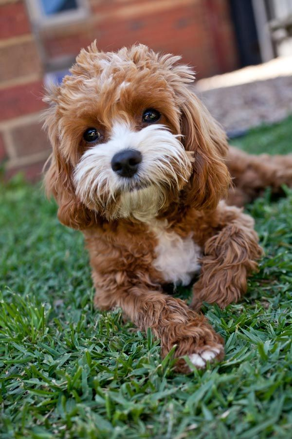 Top 20 Cutest Dog Breeds Around The World Cute Dogs Breeds Dog