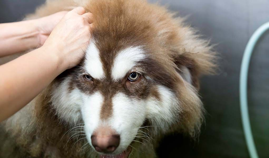 how to deshed a double coated dog