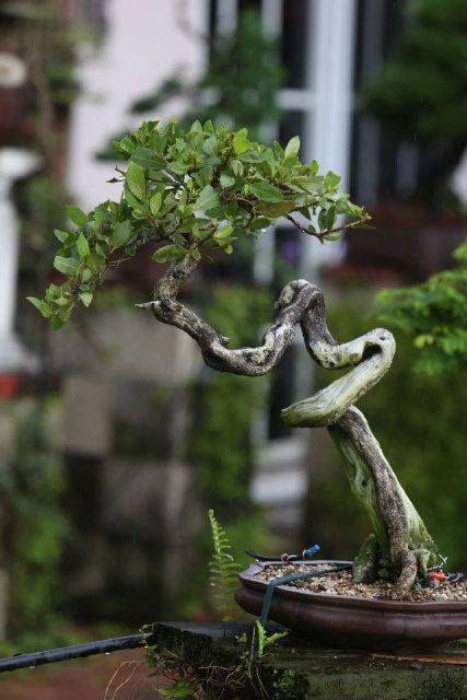 Collector Co Juniper Bonsai Bonsai Japanese Bonsai