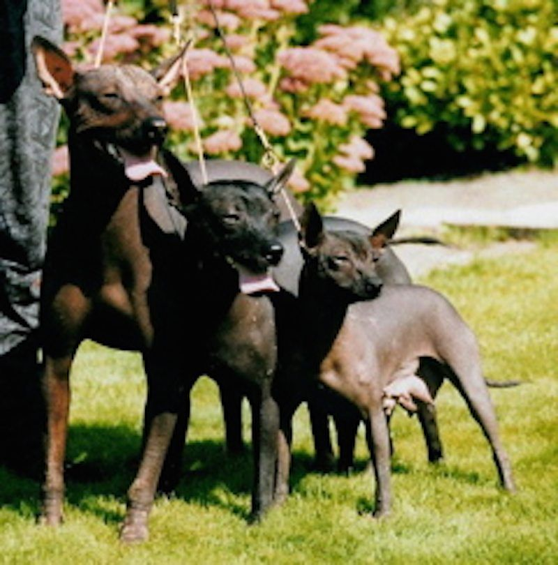 Here Is A List Of All The Animals We Have Found Starting With The Letter X Xoloitzcuintli Dog Breeds Rare Dog Breeds