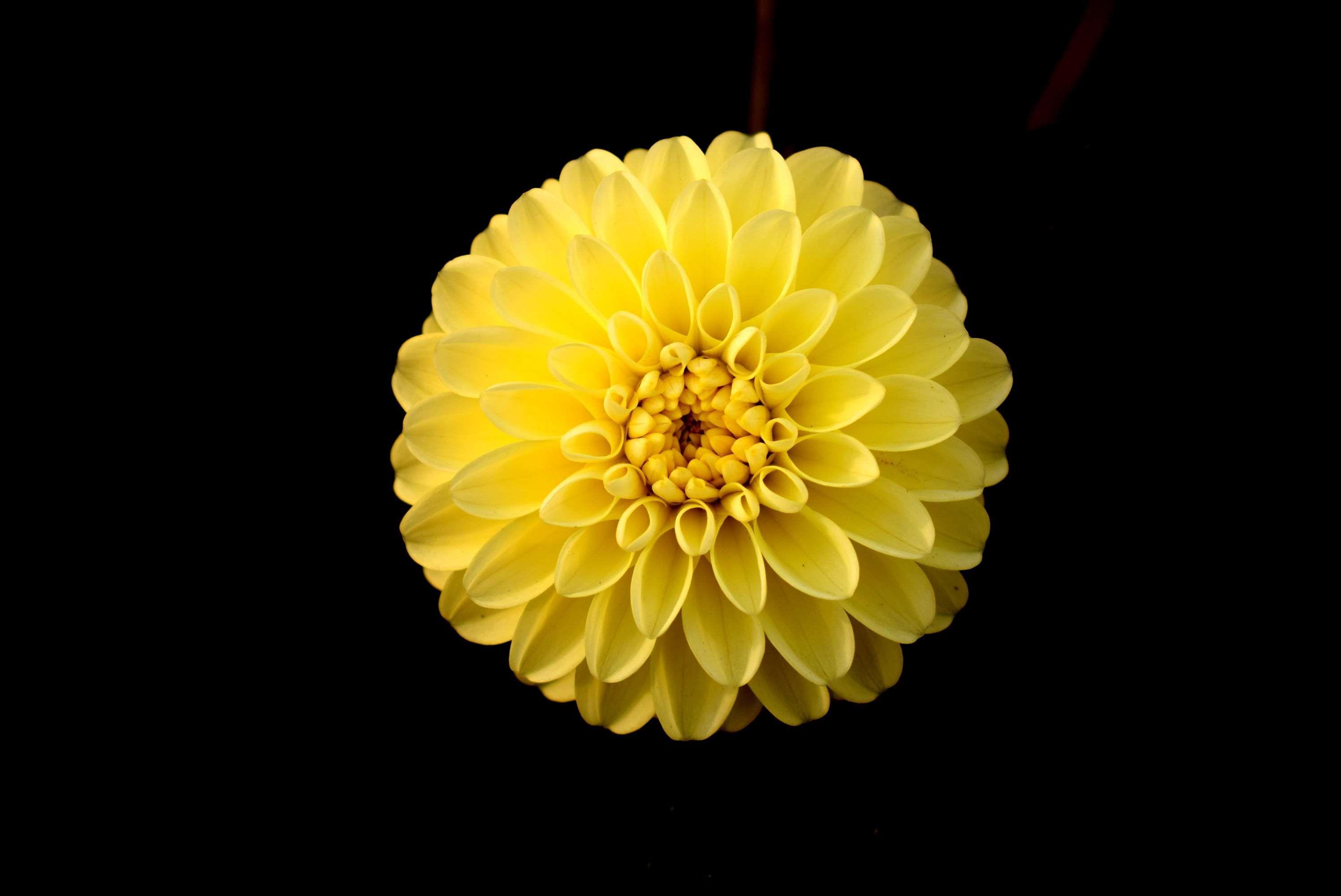 Dahlia Flower Flowers Garden Nature Single Flower Yellow