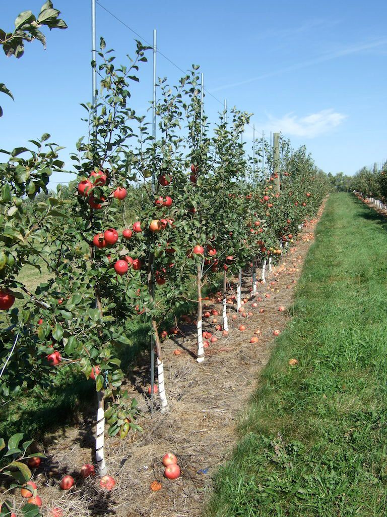 Row Of Apple Trees Base Of Trunks Are Surrounded By White Tube Planting Apple Trees Apple Tree Farm Growing Apple Trees