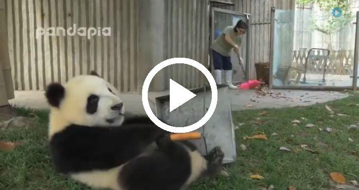 Ze zien er zo schattig uit, maar panda'skunnen je het werk knap lastig maken! De verzorgster van deze vier pandapeuters in een onderzoekscentrum inChengdu (China) heeft haar handen vol aan de deugnieten.