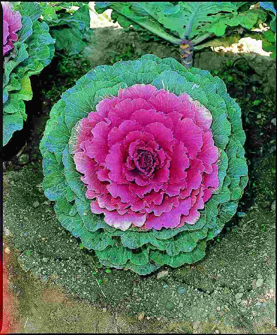 Kale pigeon purple kale guide to fall annuals pinterest kale compact dwarf plants having uniform round shaped and solid heads with slightly waved leaves izmirmasajfo Images