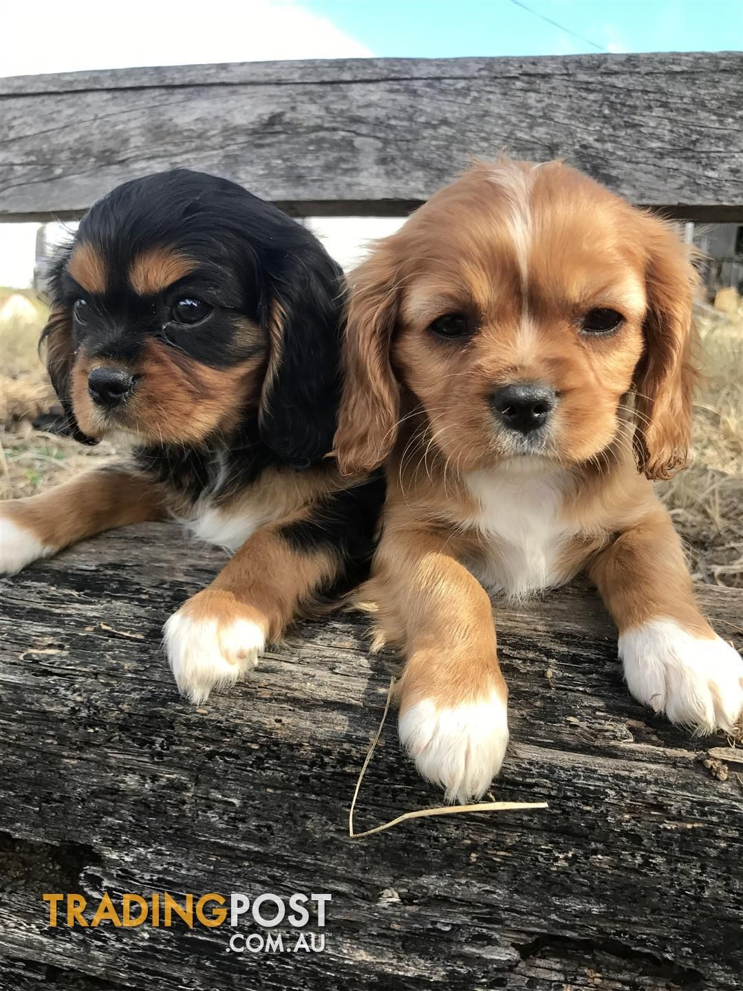 Pin By Jennifer Homan On Cute Puppies Cavalier Puppy Cavalier