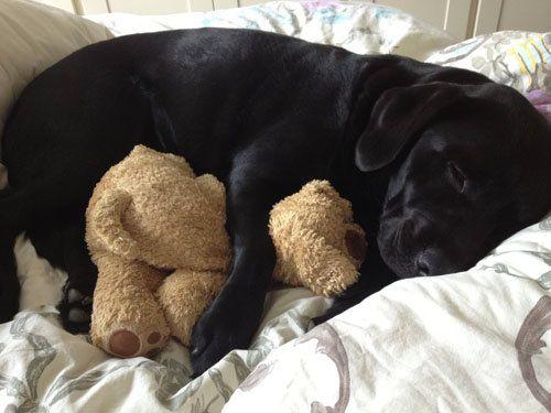 Goldador Puppy For Sale Near Winchester Virginia 50866e1f D941 Puppies Bear Puppy Retriever Puppy