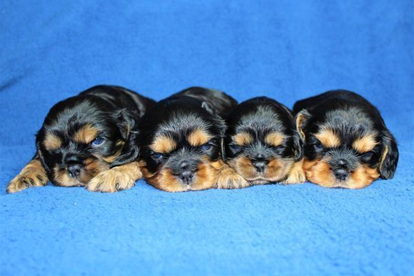 Pitbull Puppies For Sale Near Me Puppies Near Me Puppies