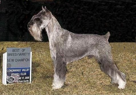 Standard Schnauzer -  beautiful