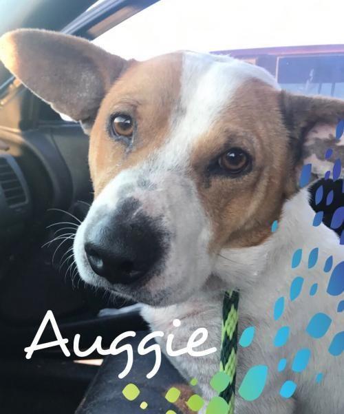 Adopt Auggie Dd On Corgi Pet Adoption Corgi Mix