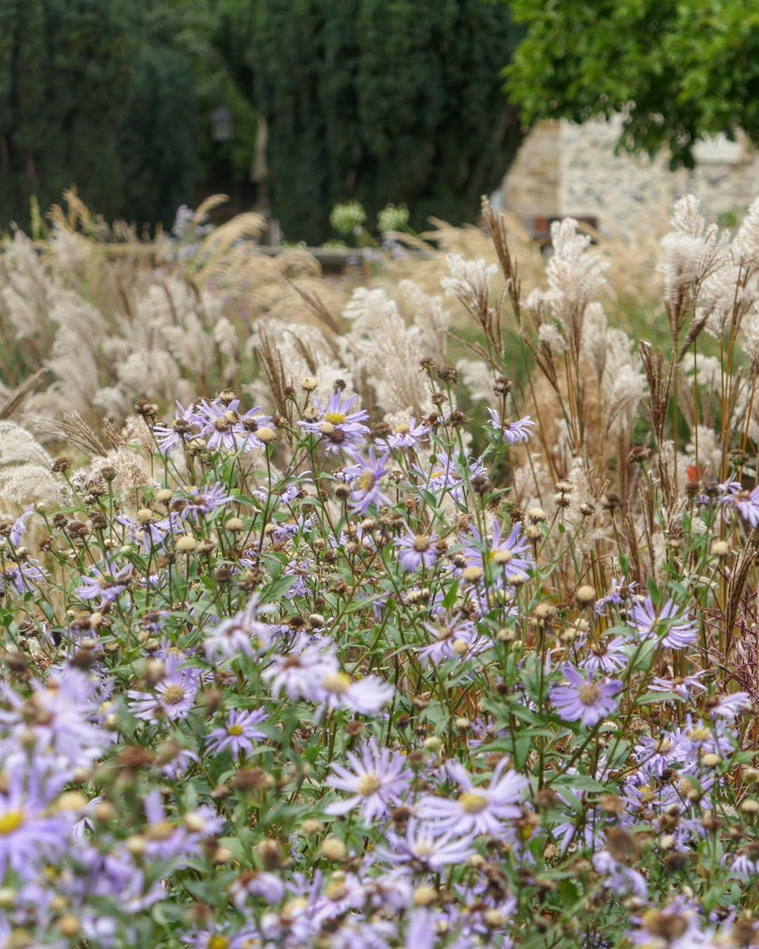 The Name Aster Originates From The Greek Word Meaning Star Which Refers To The Flower Shape Asters Are A Valuable Pl Plants Garden Desig Ornamental Grasses