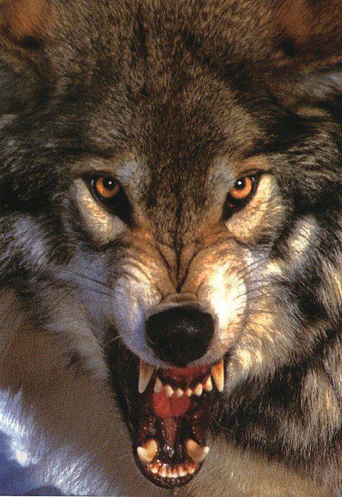 Картинка с волчьим оскалом