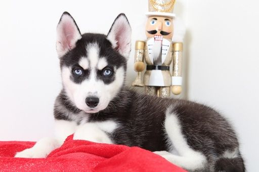 Siberian Husky puppy for sale in BEL AIR, MD. ADN60940 on