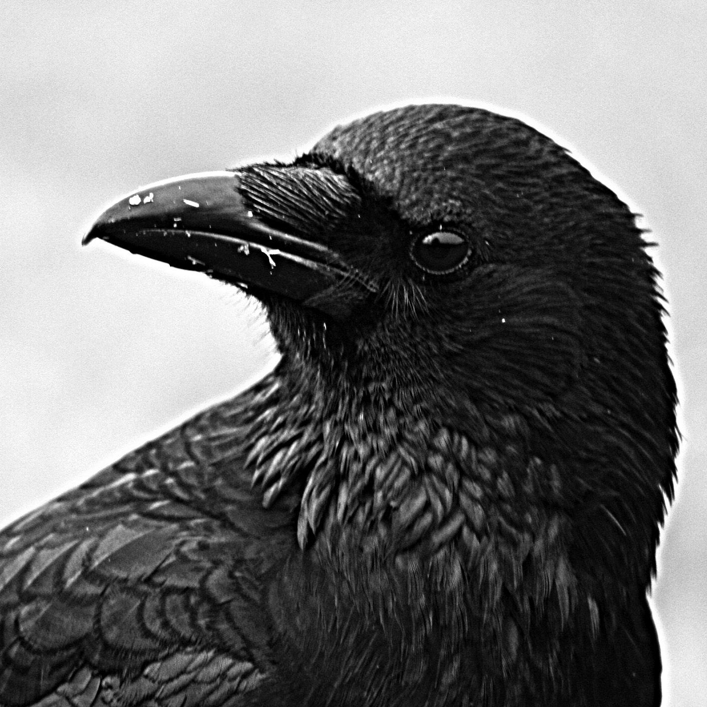 Carrion Crow Okehampton Devon Cuervo Hiperrealismo Aves