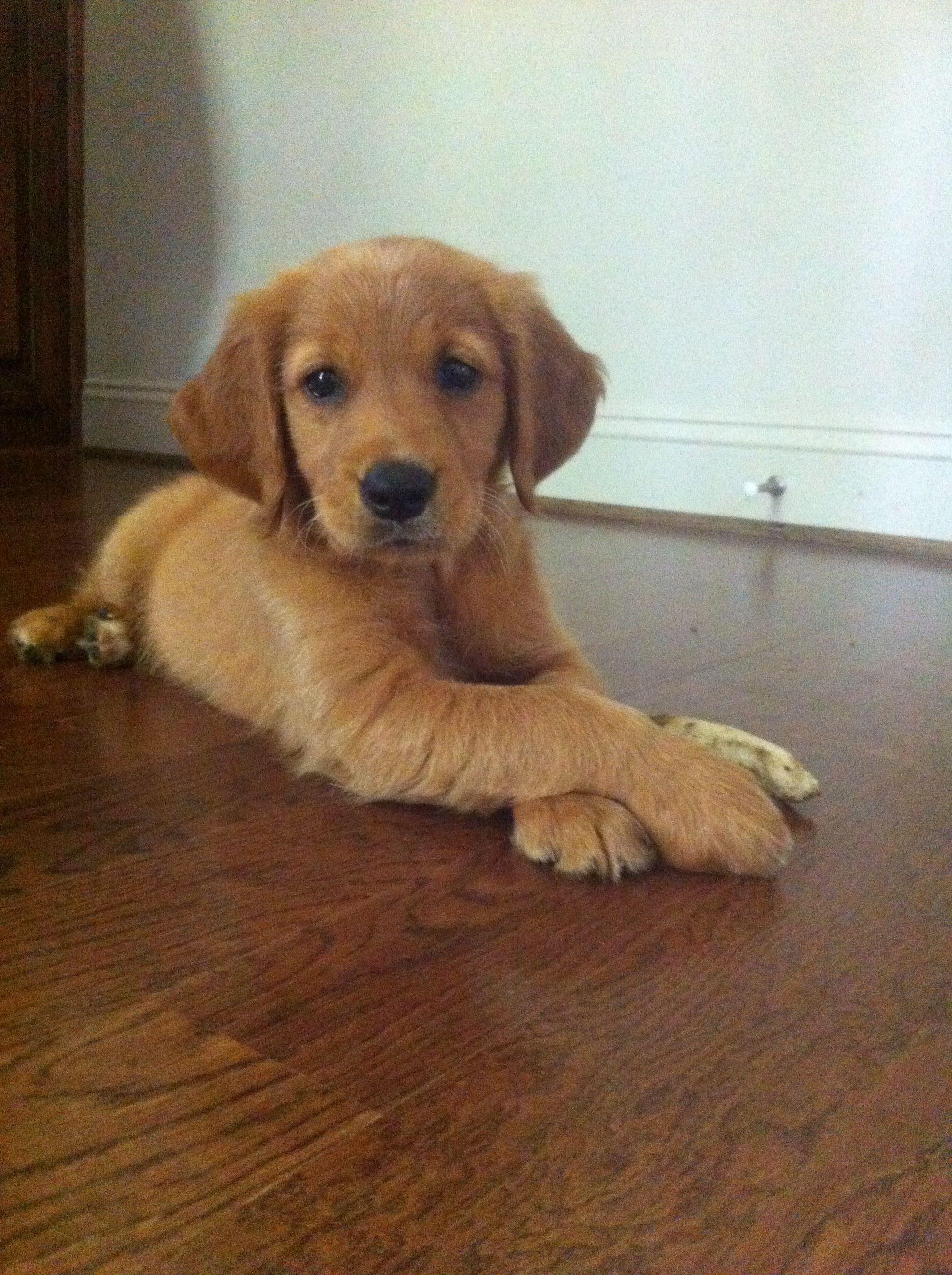 Image Result For Red Golden Retriever Puppy Goldenretriever Red