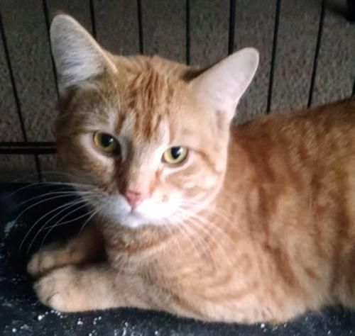 Meet Billy An Adoptable Pet Cat Pets Cats Cats Pets