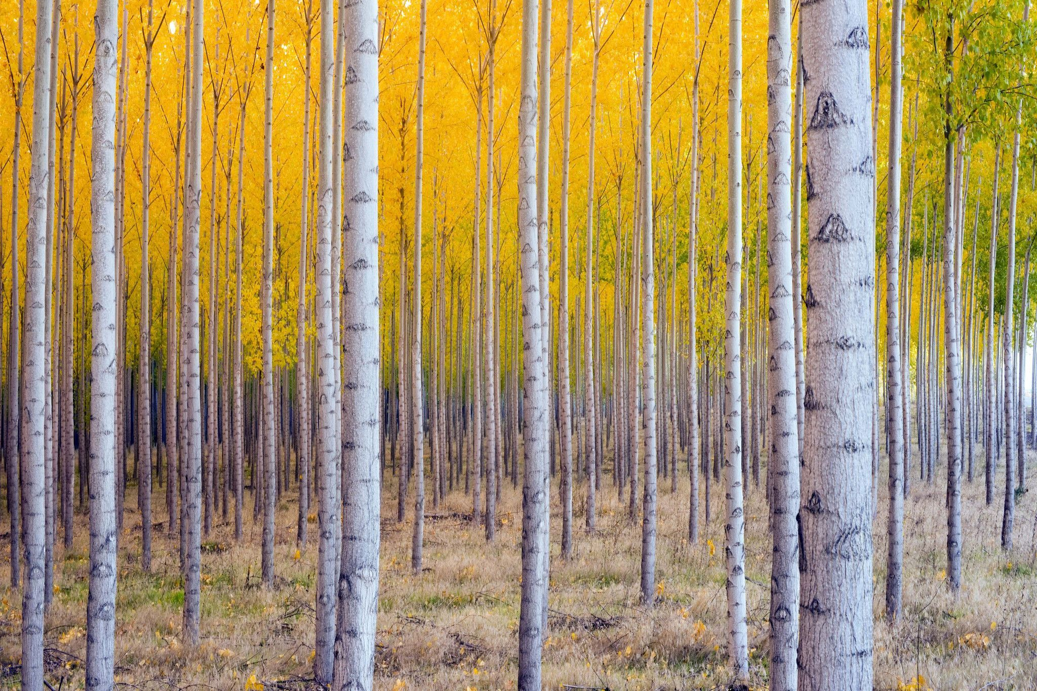 Birch Trees - Large Canvas Photography - Large Canvas Wall Art ...