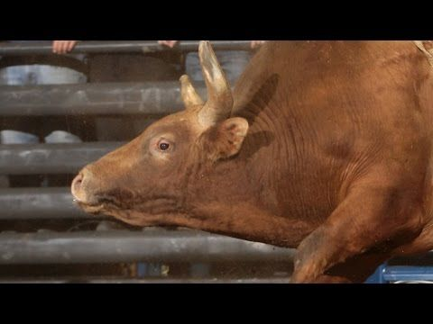TOP BULL: Stormy Wing gets slammed by Percolator (PBR) - WRECK WEDNESDAY: @_chickenwing gets slammed by Percolator in the championship round at #PBRABQ. March 2015