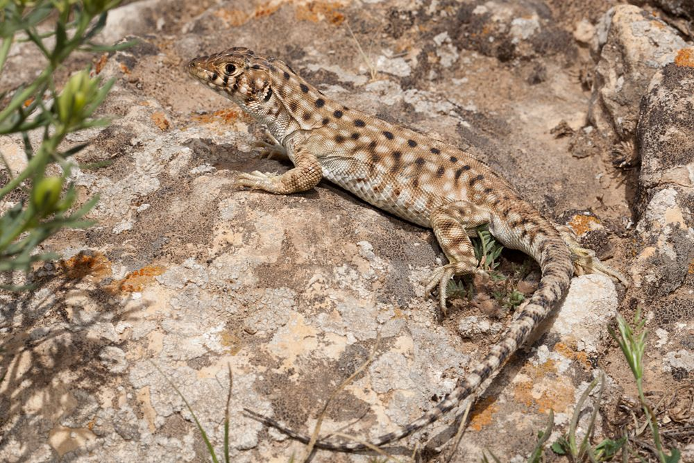 The Harran Fringe-fingered Lizard ( Acanthodactylus harranensis)  Critically endangered, endemic to Turkey. The species has a severely limited range and estimates place less than 1000 mature individuals in the wild. The entire species' range is 3.6km2. Threats come from increased tourism, excavation of the historic city and overgrazing. The population trend is currently decreasing.