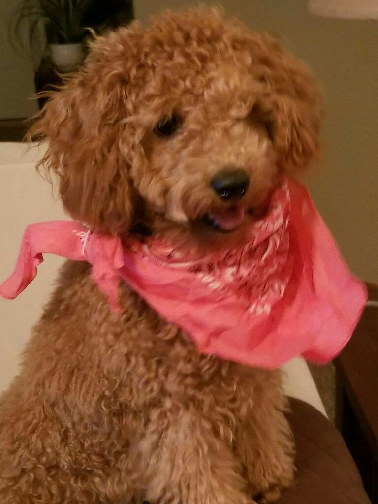 Red mini poodle Ruby   dogs   Pinterest