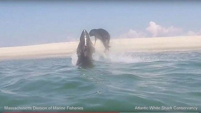 Rare footage shows great white shark leaping after seal off Cape Cod