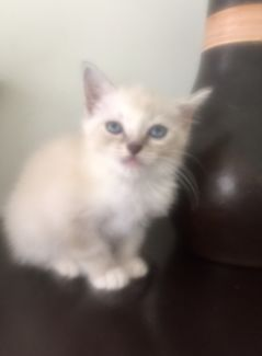 Adorable lynx ragdoll kitten to a loving home Cats
