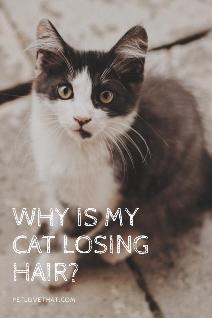 Why is My Cat Losing Hair? 6 Reasons Caused Losing Hair
