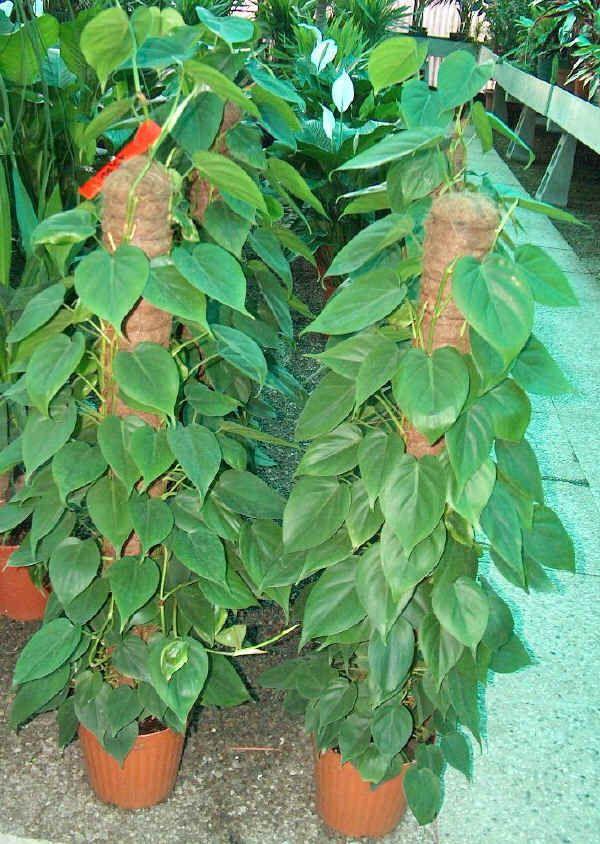 Piante Da Appartamento Rare.Piante Rare Da Appartamento Philodendron Cordatum Cerca Con